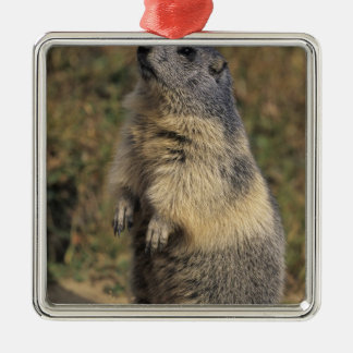 Marmota alpina marmota del Marmota situación adu Ornato
