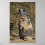 Marmota alpina, marmota del Marmota, situación adu Impresiones