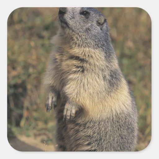 Marmota alpina, marmota del Marmota, situación adu Calcomanías Cuadradases