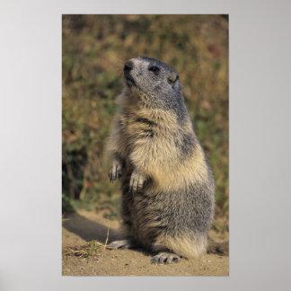 Marmota alpina, marmota del Marmota, situación adu Póster