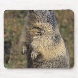 Marmota alpina marmota del Marmota situación adu Alfombrillas De Raton