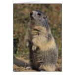 Marmota alpina, marmota del Marmota, situación adu Tarjeta