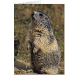 Marmota alpina marmota del Marmota situación adu Tarjeta