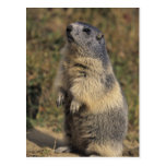 Marmota alpina, marmota del Marmota, situación Postal