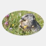 Marmota alpina que come la flor calcomanía óval