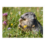 Marmota alpina que come la flor postal