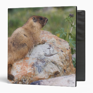 marmota Amarillo-hinchada, flaviventris del Marmot