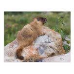 marmota Amarillo-hinchada, flaviventris del Postal