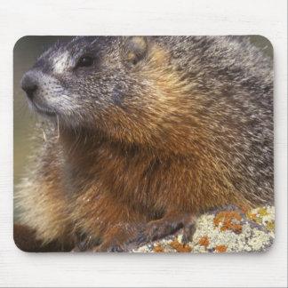 marmota Amarillo-hinchada, Yellowstone NP, WY, los Alfombrilla De Ratones
