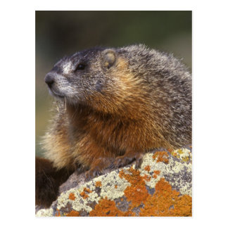marmota Amarillo-hinchada, Yellowstone NP, WY, los Postales