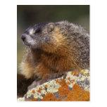 marmota Amarillo-hinchada, Yellowstone NP, WY, los Postal