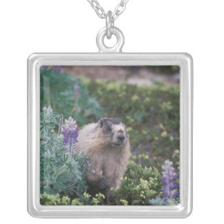 marmota canosa, caligata del Marmota, alimentando Colgante Cuadrado