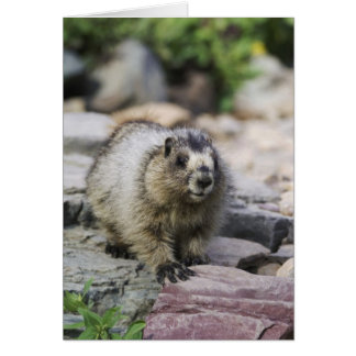 Marmota canosa, caligata del Marmota, joven con Tarjeton