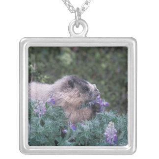 Marmota canosa que alimenta en el lupine sedoso, colgante cuadrado