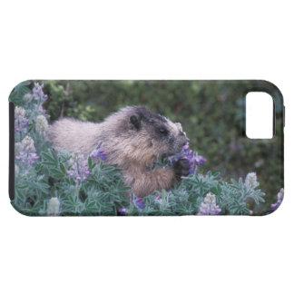 Marmota canosa que alimenta en el lupine sedoso, funda para iPhone 5 tough