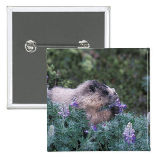 Marmota canosa que alimenta en el lupine sedoso, pin cuadrado
