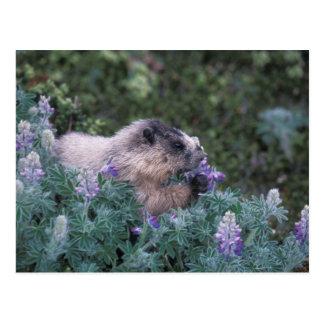 Marmota canosa que alimenta en el lupine sedoso, postal