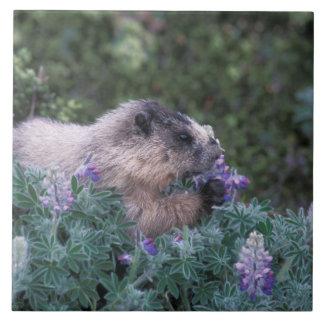 Marmota canosa que alimenta en el lupine sedoso, s azulejo cuadrado grande