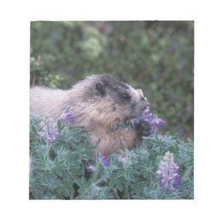 Marmota canosa que alimenta en el lupine sedoso, s blocs de papel
