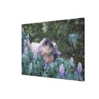 Marmota canosa que alimenta en el lupine sedoso, s impresión en tela