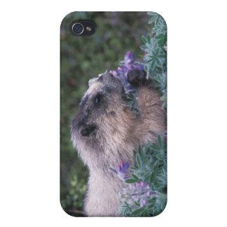 Marmota canosa que alimenta en el lupine sedoso, s iPhone 4 funda