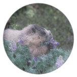 Marmota canosa que alimenta en el lupine sedoso, s platos de comidas