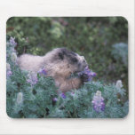 Marmota canosa que alimenta en el lupine sedoso, s alfombrillas de raton