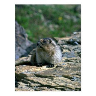 Marmota canosa tarjeta postal