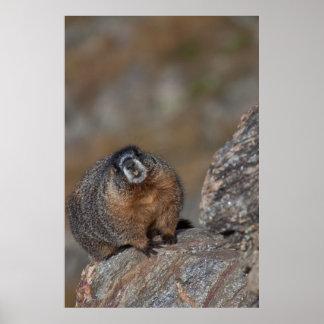 Marmota en Parque Nacional de las Montañas Rocosas Poster