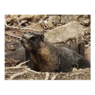 Marmota gruñona tarjeta postal