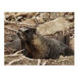 Marmota gruñona tarjetas postales