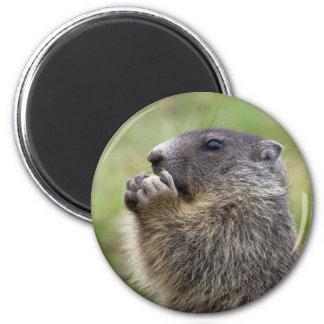 Marmota marmota 2 inch round magnet