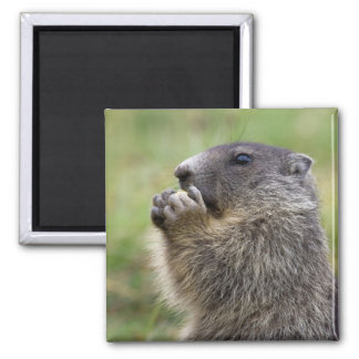 Marmota marmota 2 inch square magnet