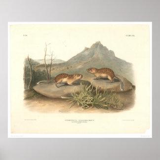 Marmotas de California por Audubon (0184A) Impresiones