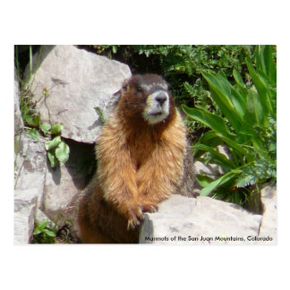 Marmots of the San Juan Mountains, Co... Postcard