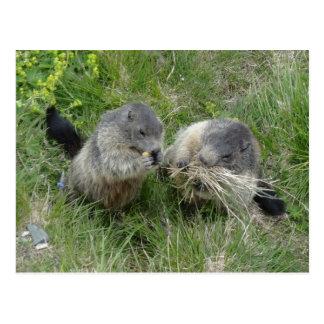 Marmots postcard