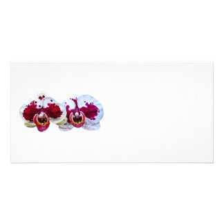 Maroon and White Phalaenopsis Orchids Side by Side Card