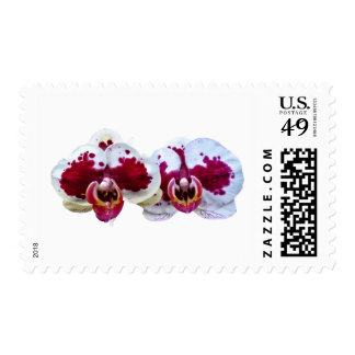 Maroon and White Phalaenopsis Orchids Side by Side Postage