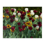 Maroon and Yellow Tulips Colorful Floral Acrylic Print