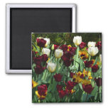 Maroon and Yellow Tulips Colorful Floral Magnet