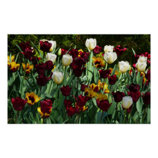 Maroon and Yellow Tulips Colorful Floral Poster