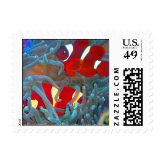 Maroon Clownfish in Bubble Tip Anemone Stamp
