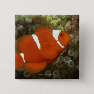Maroon clownfish with sea anemone button