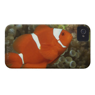 Maroon clownfish with sea anemone Case-Mate blackberry case