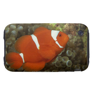 Maroon clownfish with sea anemone tough iPhone 3 cover