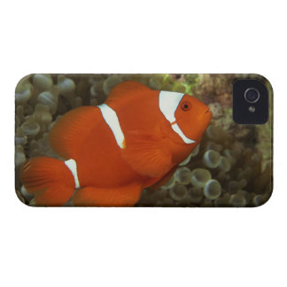 Maroon clownfish with sea anemone iPhone 4 cover