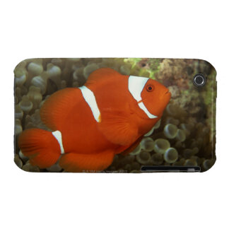 Maroon clownfish with sea anemone iPhone 3 case