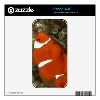 Maroon clownfish with sea anemone decal for iPhone 4