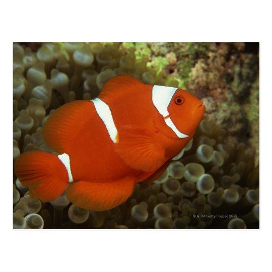 Maroon clownfish with sea anemone postcard
