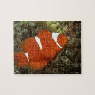 Maroon clownfish with sea anemone jigsaw puzzles